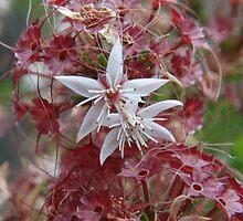 Calytrix tetragona, Common Fringe Myrtle by Emma Sterling