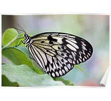 Chilasa Clytia (Mime) Butterfly Poster