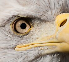 American Eagle - detail of eye by Jarede Schmetterer
