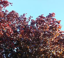 Japanese Maple Tree by MidnightMelody