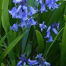 Bluebells by MidnightMelody