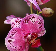 Pink Orchid by Sophia Phoenix