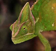 Chameleon by Robert Sturman