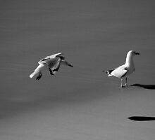 Seagulls Black and White by Noel Elliot