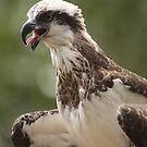 Osprey by Steve Bullock