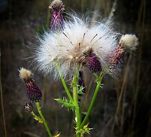 Thistle Down by bicyclegirl