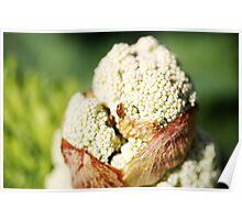 Rhubarb Flower Poster