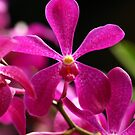 Singapore Orchids 1 by beeden
