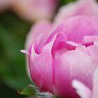 Pink Peony by Matthew Folley