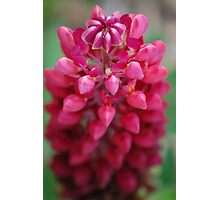 Pink Lupin Photographic Print