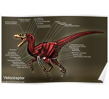 Velociraptor Muscle Study Poster