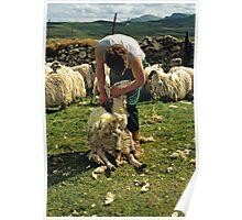 Sheep sheering, Isle of Skye, Scotland, UK, 1990s Poster