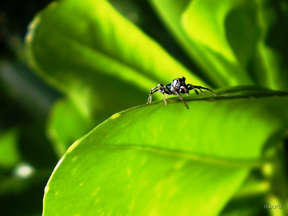 Jumping Spider by owuro