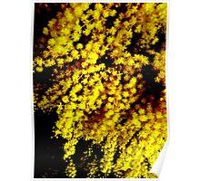 Wattle in flower dark Poster