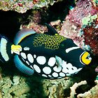 Clown Triggerfish, Wakatobi National Park, Indonesia by Erik Schlogl