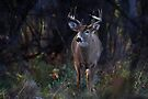 Buck - The light hits at the rut time of the day - White-tailed Deer by Jim Cumming