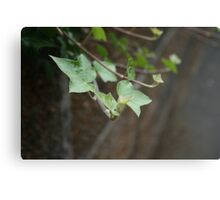 Ivy growing from a wall Canvas Print