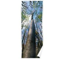 Beech tree in spring 2 Poster