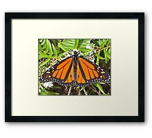 Monarch butterfly at Te Puna Quarry Gardens Framed Print