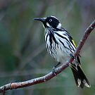 New Holland Honeyeater # 2 by Eve Parry