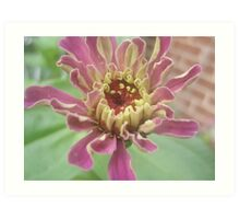 Zinnia flower series! Art Print