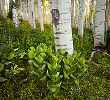 Aspen and Corn Lily by Alex Burke