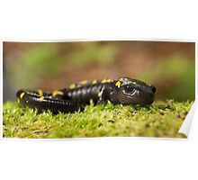 Spotted Salamander comes out of hiding. Poster