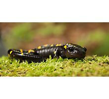 Spotted Salamander comes out of hiding. Photographic Print