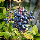 Blackthorn Berries by Colin Metcalf