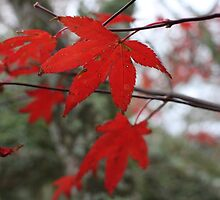 Red maple  by TwoShoes