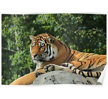 Amur Tiger at a Zoo Poster