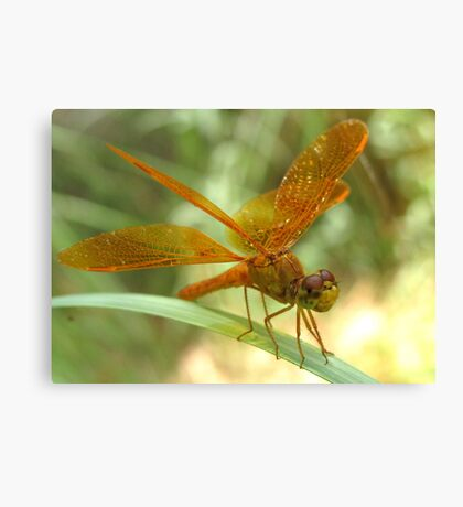 Dragonfly ~ Mexican Amberwing (Male) Canvas Print