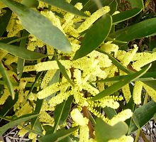 Acacia Longifolia (Sydney Golden Wattle)  by Margaret  Hyde