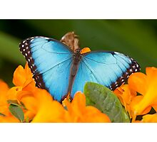 Peleides Blue Morpho Butterfly Photographic Print