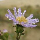 Aster and Sand dunes by clester