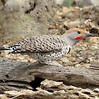 Gilded Flicker ~ Male by Kimberly Chadwick