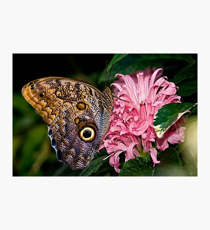 Owl Butterfly Photographic Print