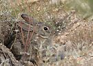 Desert Cottontail ~ A.K.A. Audubon's Cottontail by Kimberly Chadwick