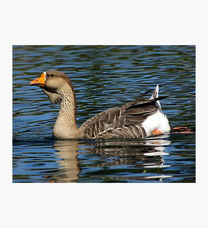 African Goose ~ Female Photographic Print