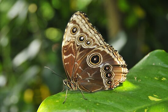 Blue Morpho by Michael Cummings