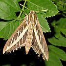 White-lined Spinx Moth by Kimberly Chadwick