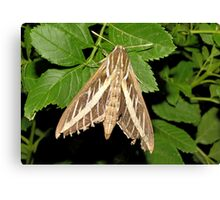 White-lined Spinx Moth Canvas Print