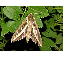 White-lined Spinx Moth Photographic Print