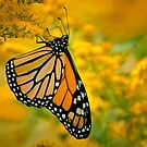 Monarch Butterfly on Goldenrod by Michael Cummings