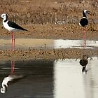 Black-Winged Stilt by Cecily McCarthy