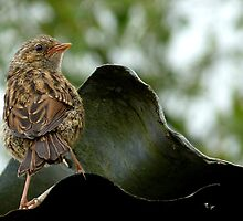 I'm  Out The Nest, Where Is Everyone! - Baby Dunnock Hedge Sparrow by AndreaEL