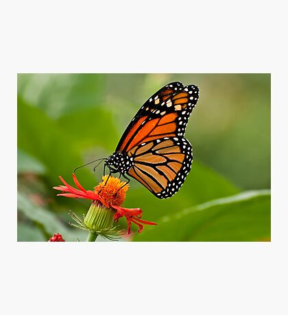 Monarch Butterfly - 8 Photographic Print