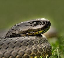 HDR Tiger snake by Thow's Photography