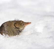 Shrew emerging from snow. by Daniel Cadieux