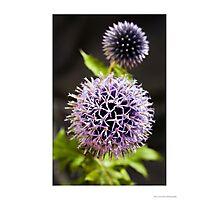 Echinops ritro 'Veitch's Blue' Photographic Print